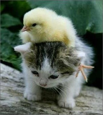 baby kitten and chick