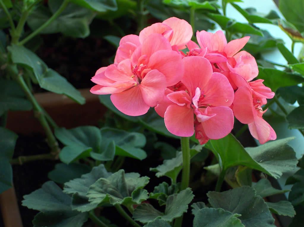 Ilclanmariapia i fiori dell 39 amicizia - Geranio giallo ...
