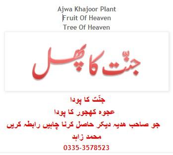 Ajwa Khajoor Plant in  Pakistan Karachi