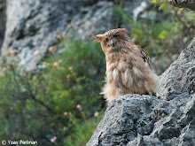 Western Fish Owl, Turkey, June 2012