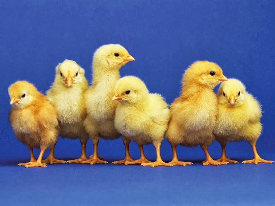 The Busy Chicks