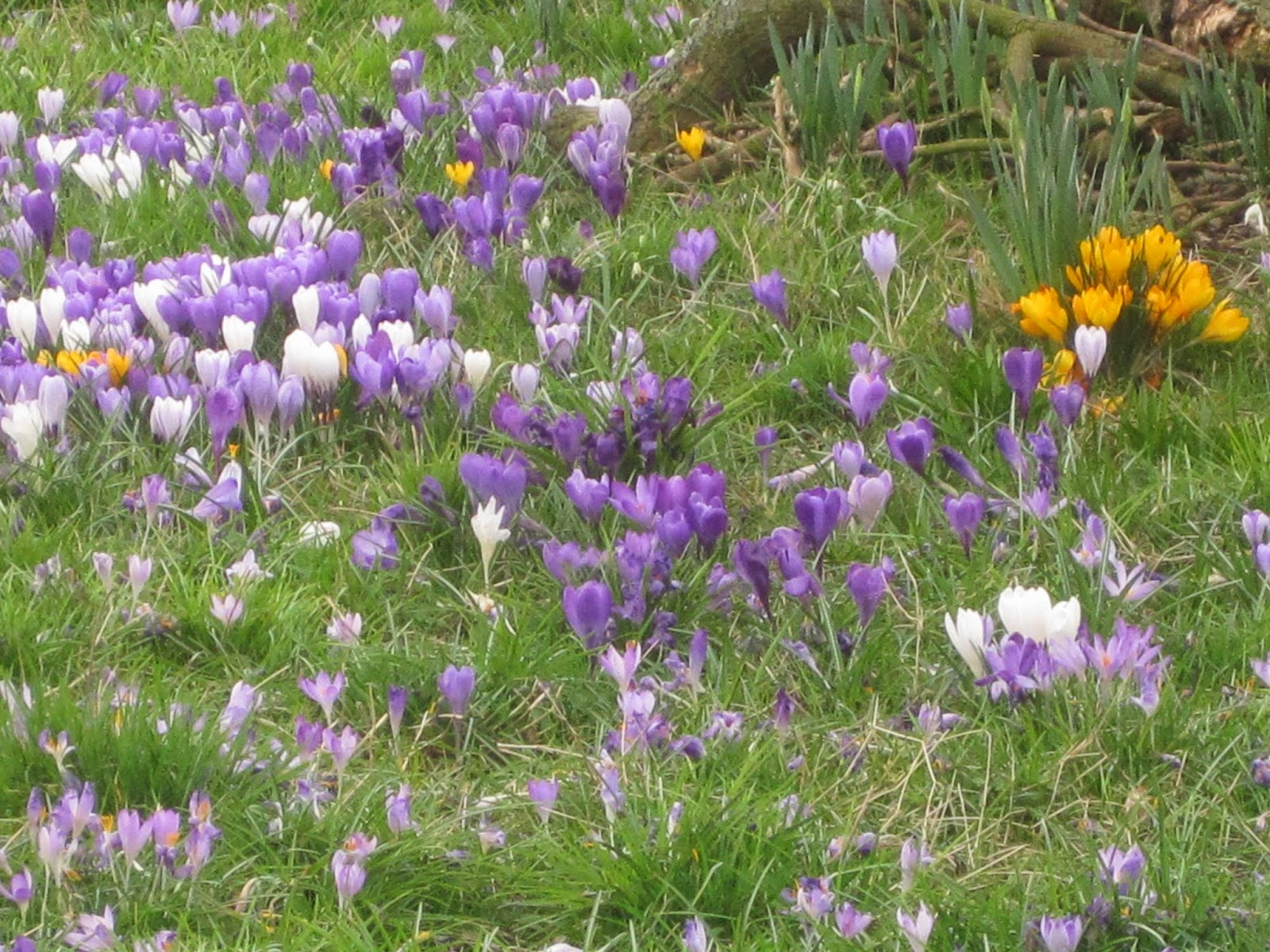 Spring Flowers, Little Bollington - March 11th, 2015