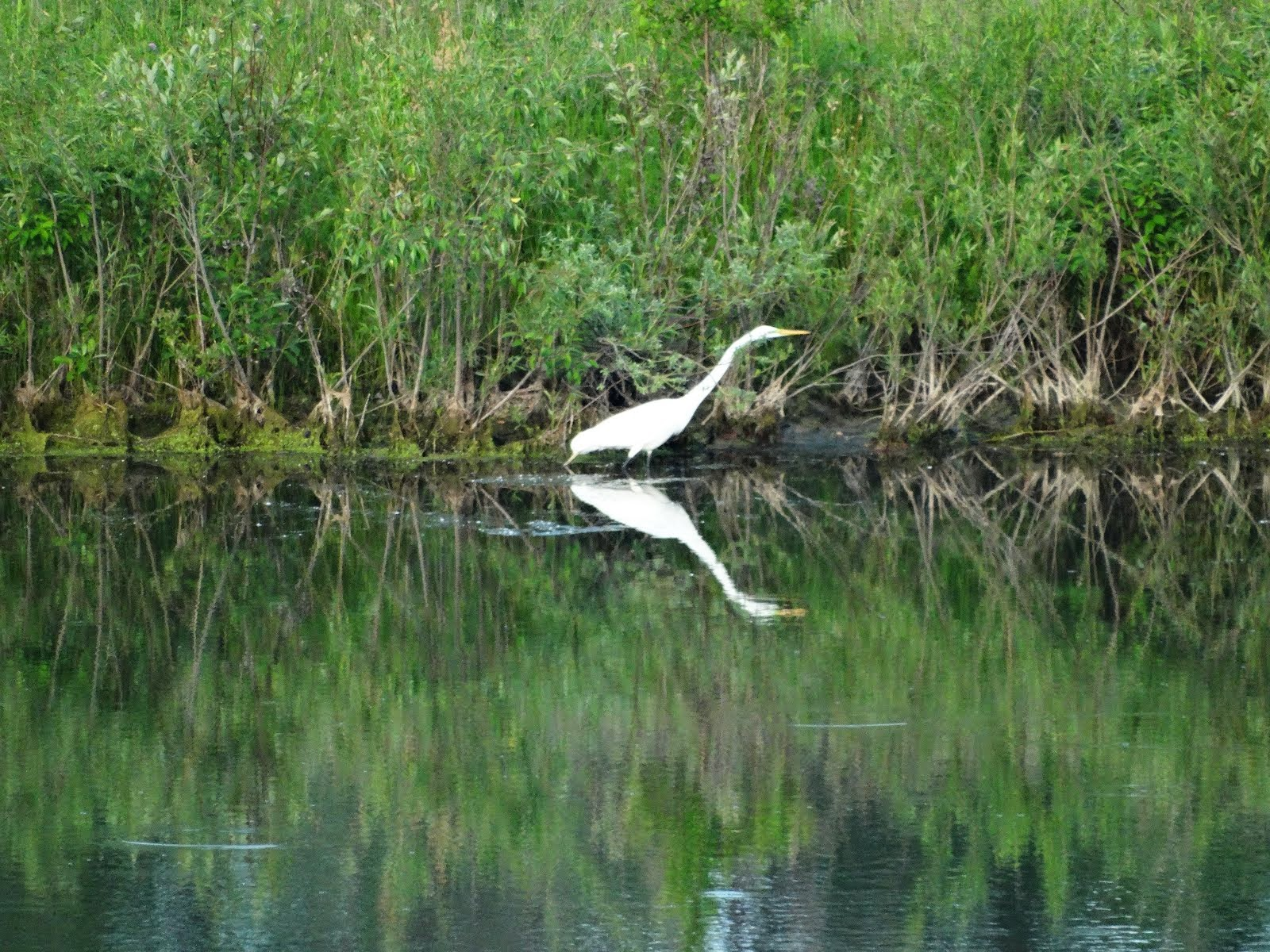Great Egret on the Pewaukee River