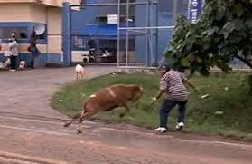 Brésil : Une chèvre terrorise un village (Video)