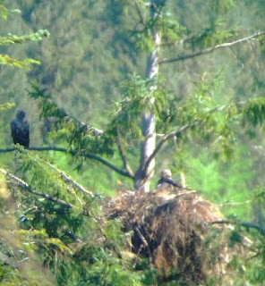 White tailed eagle nest on Mull