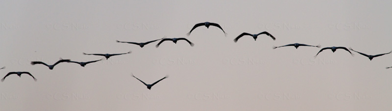 Grupo de Grullas al amanecer,Cranes in the morning arriving, embalse de Rosarito, sur de Gredos, Candeleda
