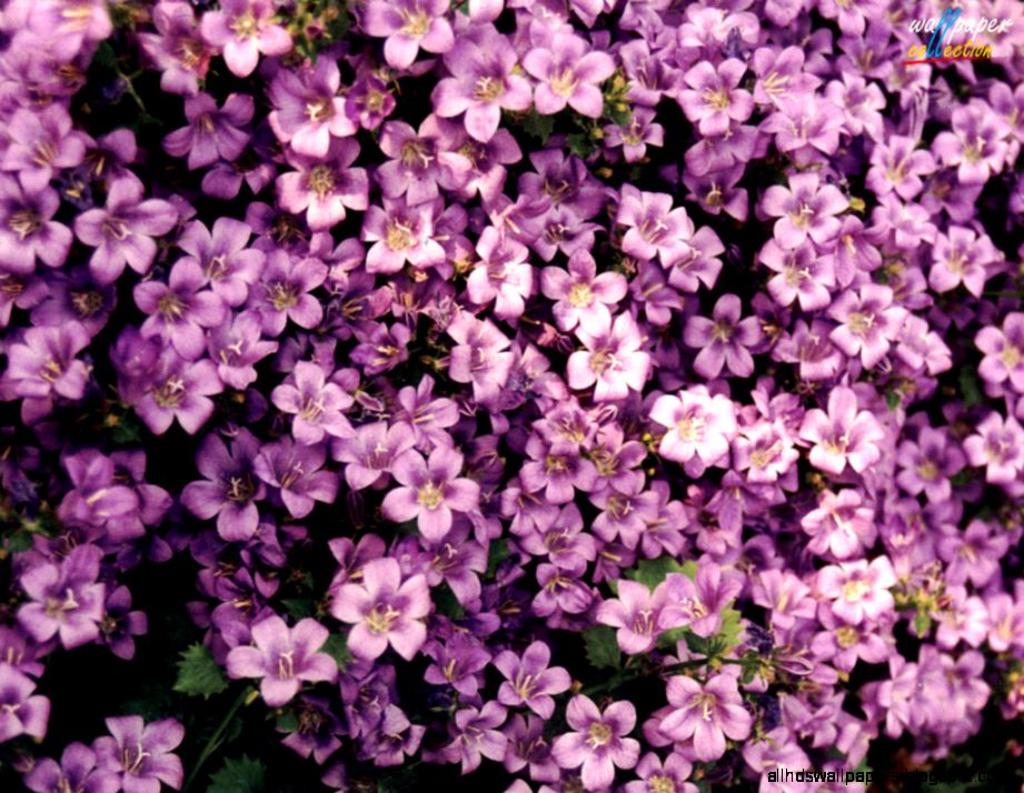 Flowers Wallpapers Desktop Themes and Screensavers  Flowers