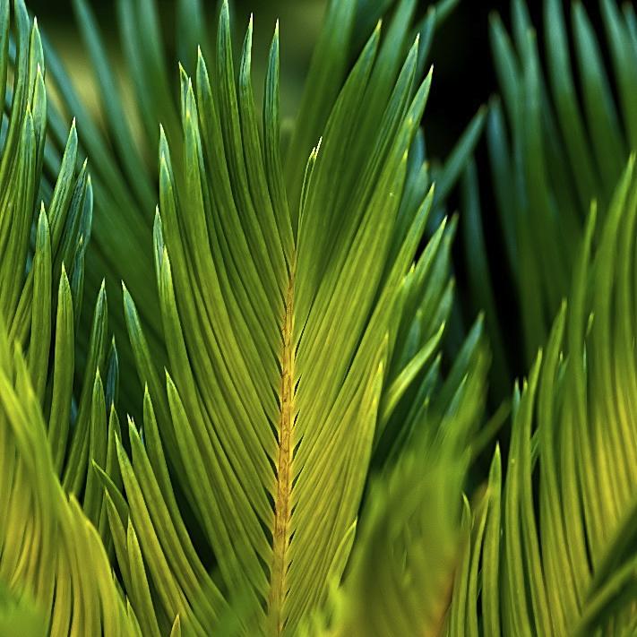 foglia, Chamaerops humilis, palma