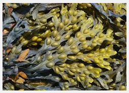 fucus vesiculosus lose weight