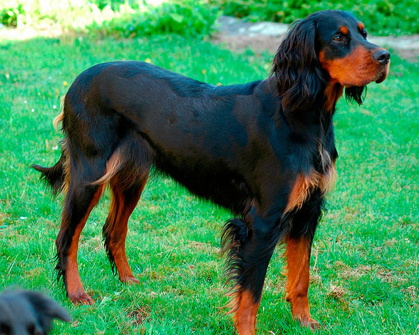 Gordon Setter  Caring for correct feeding  All About Dogs