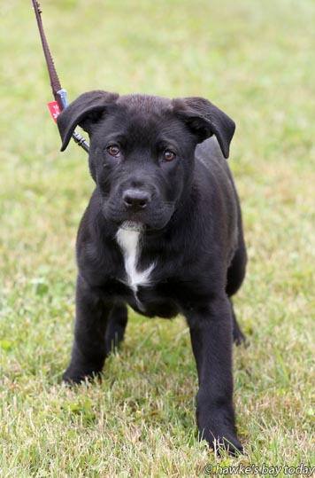Rio, a puppy at Hastings and District SPCA, Hastings. photograph