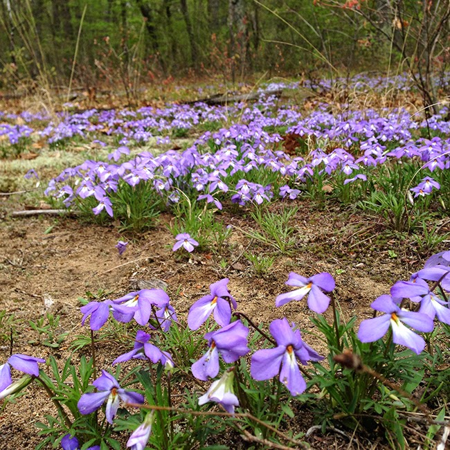 Larger image of wild birds tooth violets in Michigan