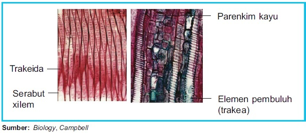 Struktur jaringan xilem