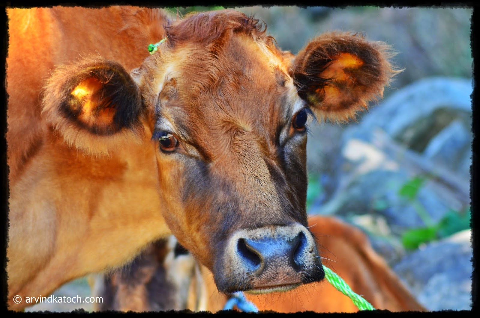 Indian Cow, Face,