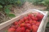 Košík s jahodami v jahodí