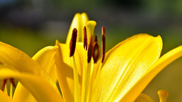Yellow Lily Flower HD Wallpaper