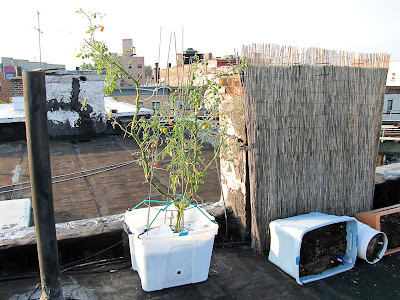 Bucolic Bushwick Rooftop Vegetable Garden 2011