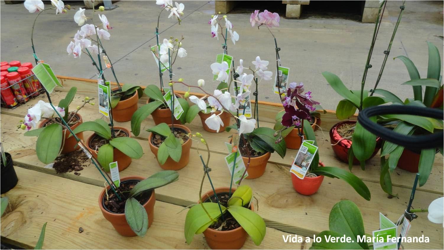 ¿Qué debo saber para cultivar orquídeas? Debo saber que existen tiendas o viveros especializados que venden las plantas en macetas o adheridas a troncos o