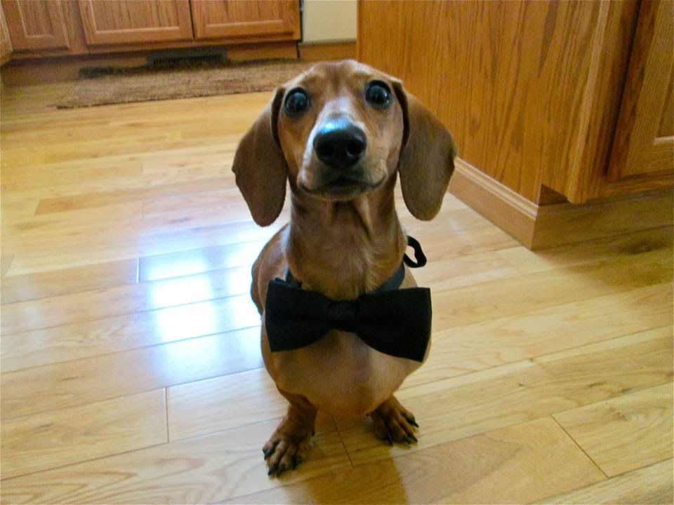 Cute dogs - part 9 (50 pics), dog wearing bow tie