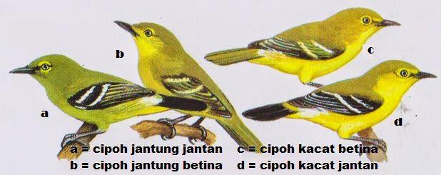 TERBARU] Harga Burung Kicau Murah di Pasar Burung Daftar Update