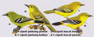 Foto Burung Cipoh Cara Membedakan Jantan Betina Harga Kicauan Baru