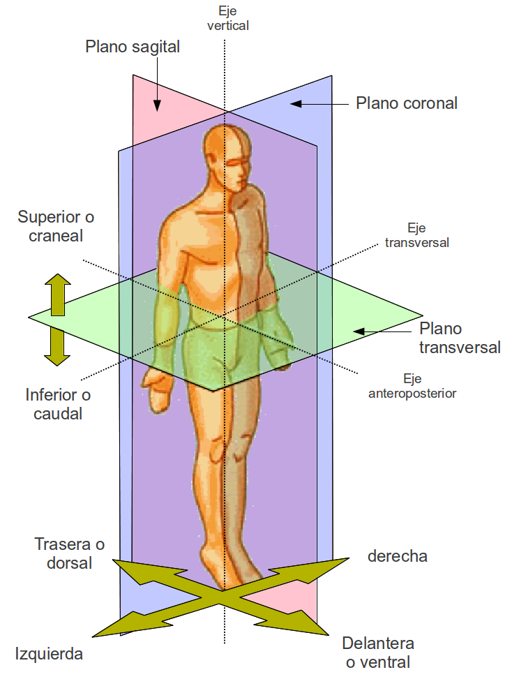 Morfofisiologia I: GENERALIDADES DE ANATOMIA