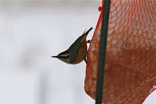 red breasted nuthatch on suet