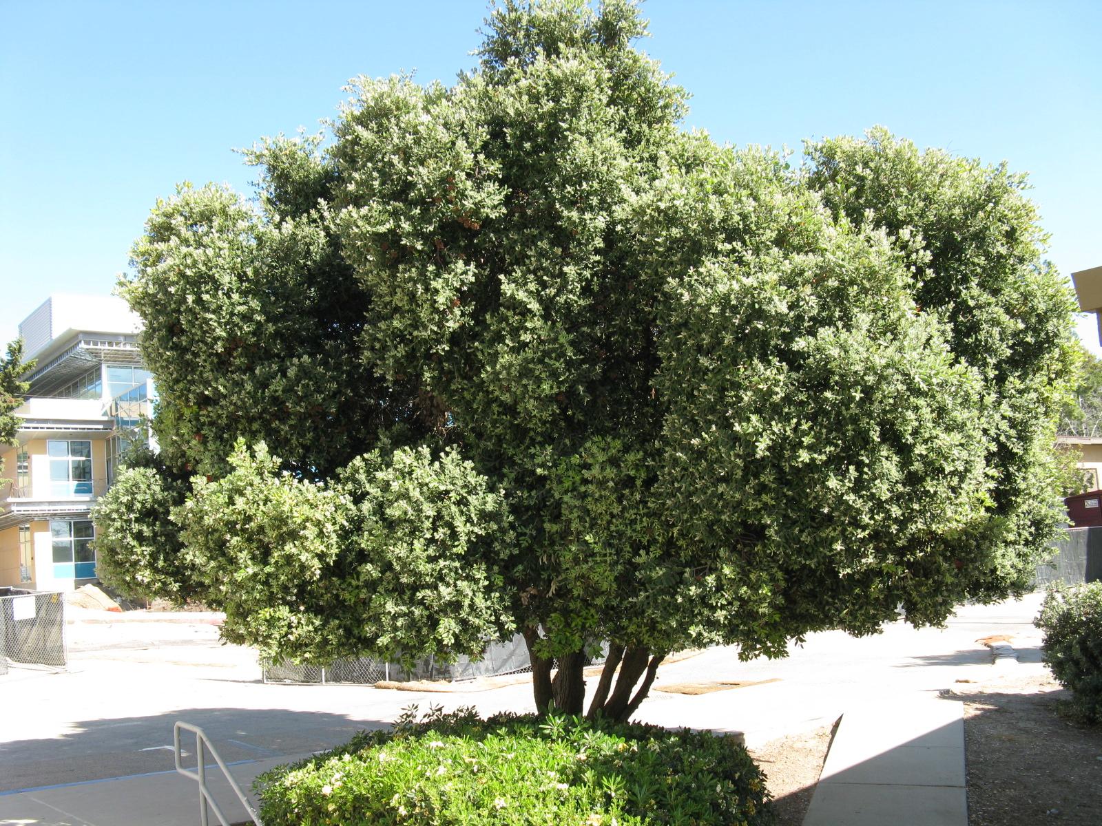 Trees Of Santa Cruz County Metrosideros Excelsa New Zealand