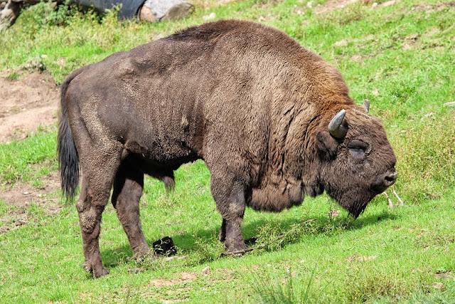 Tierfotos - Wildpark - Wisent