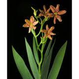 Brojo Lintang, brojolintang tanaman obat beracun berkhasiat herbal