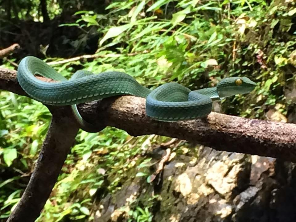 image Thailand Big-eyed Pit Viper