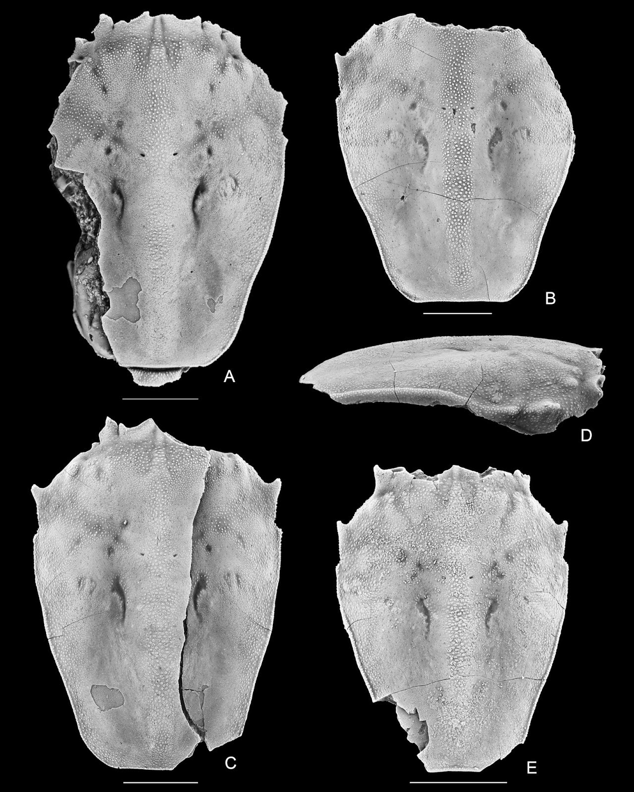 http://sciencythoughts.blogspot.co.uk/2014/12/a-new-species-of-palaeocorystid-crab.html