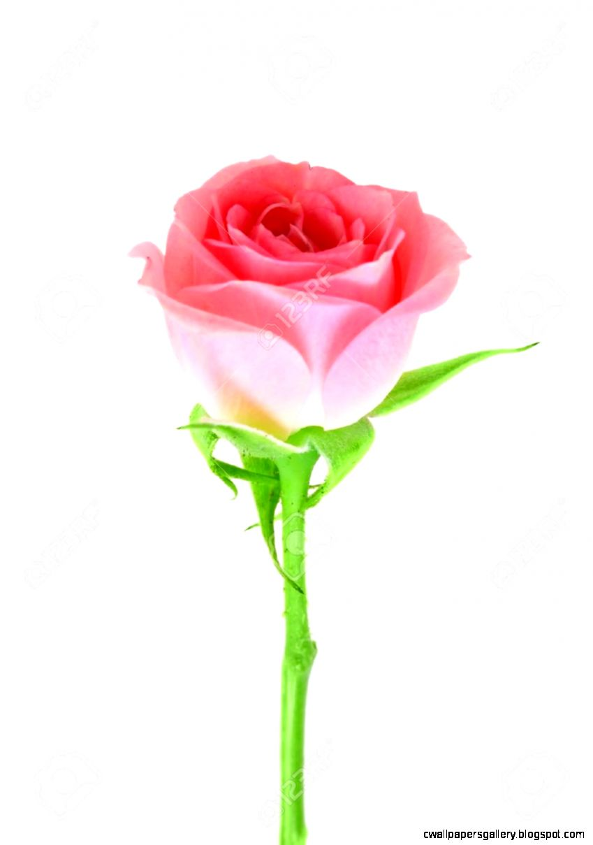 Single Pink Flower Of Rose On A Green Stalk Isolated On White