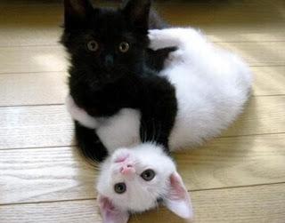 Luta de gatinhos