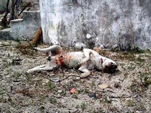 Cachorros são mortos a tiros na Bahia (Foto: Raimundo Mascarenhas/Calila Notícias)