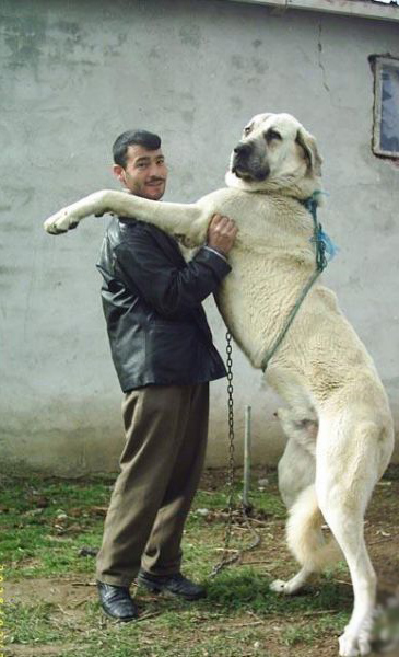 biggest dog in ... Largest Dog In The World 2014