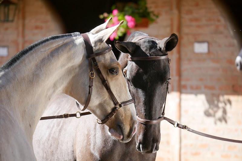 Cavalo Lusitano - Dicas e Dúvidas