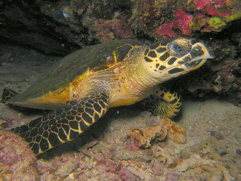 Penyu karah/sisik