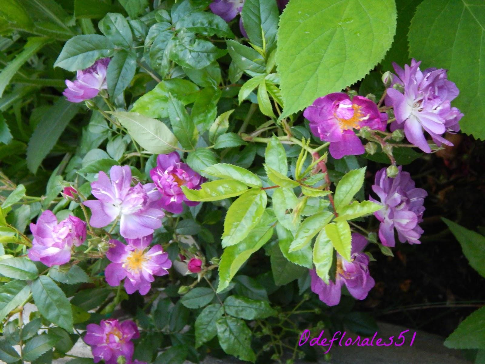 Beaut s florales rosier liane welchenblau - Rosier grimpant sans epine ...