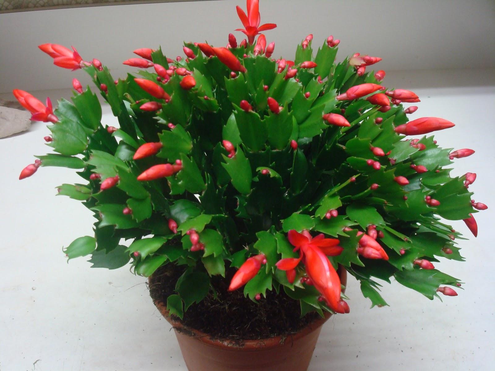 Fleuriste isabelle feuvrier for Plante de noel