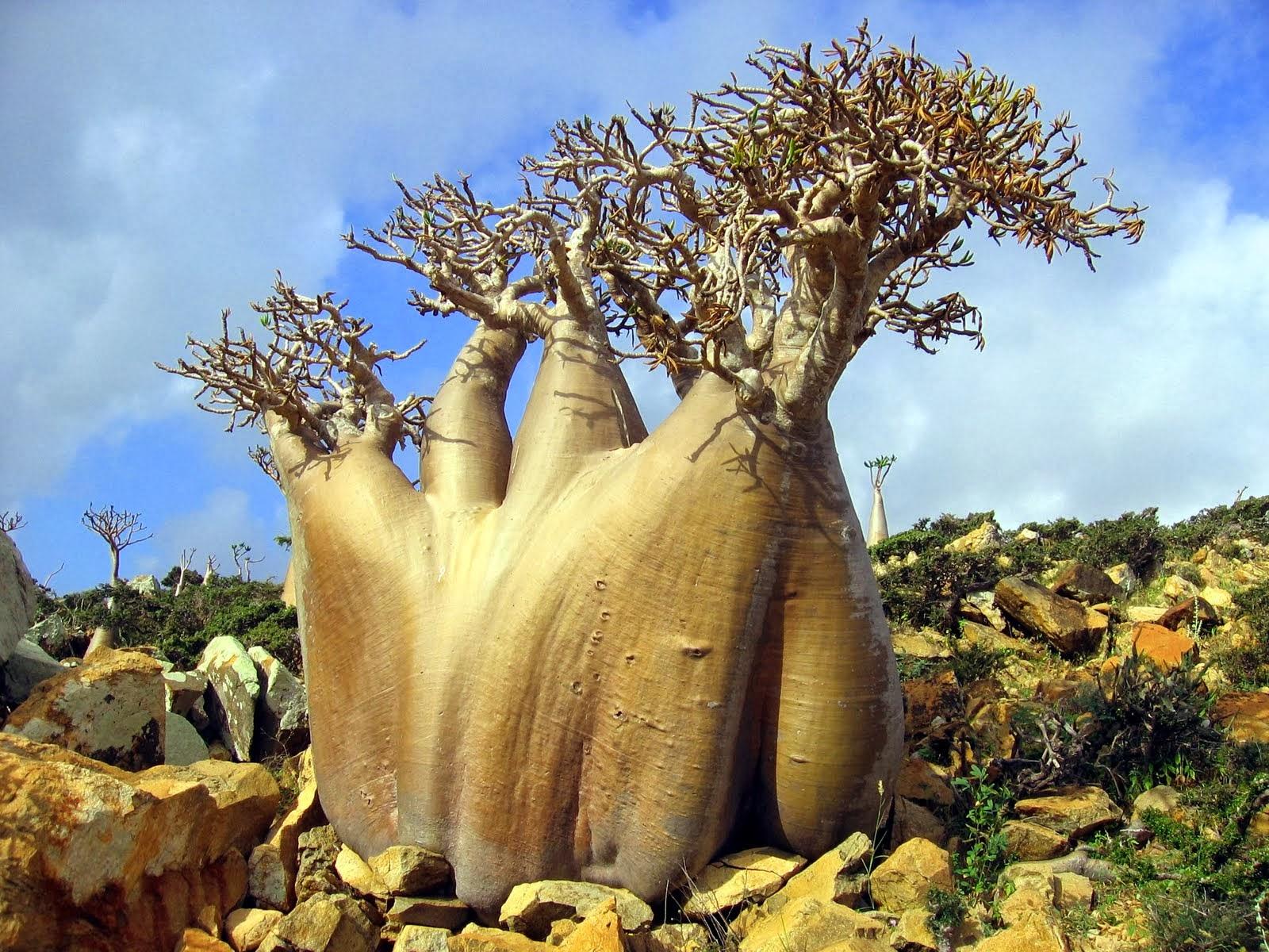 socotra+island+pulau+dajjal billyinfo2 Keanehan Pulau Socotra di Yemen, pulau Dimana DAJJAL Dirantai?