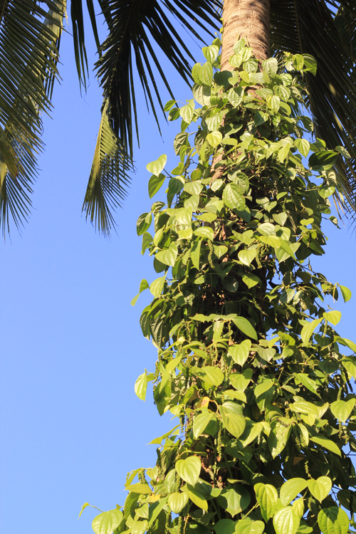 black pepper vine growing on coconut palm tree in southern india