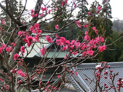梅・円覚寺