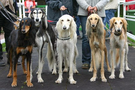 Saluki Dogs For Sale Uae