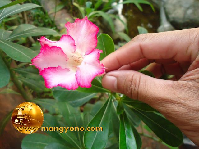FOTO : Tanaman Kamboja Jepang ( Adenium ) bunganya mulai mekar, di halaman Rumah admin.