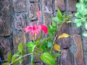 گل خطمی  Hibiscusملائیشیا کا قومی پھول