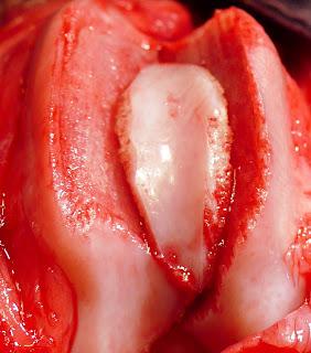reduccion luxacion rotula perro