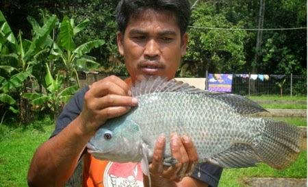 Budidaya Ikan Mujair Nila