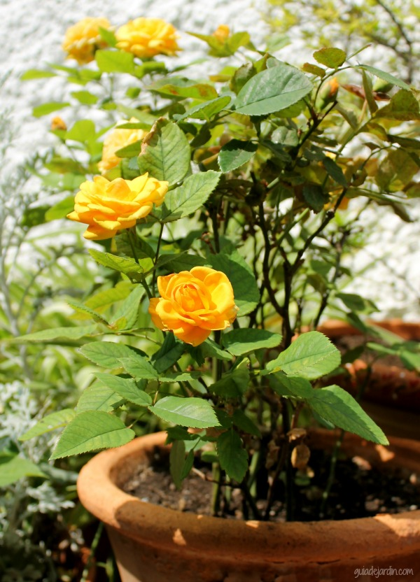 los rosales mini o miniatura - guia de jardin. aprende a cuidar tu