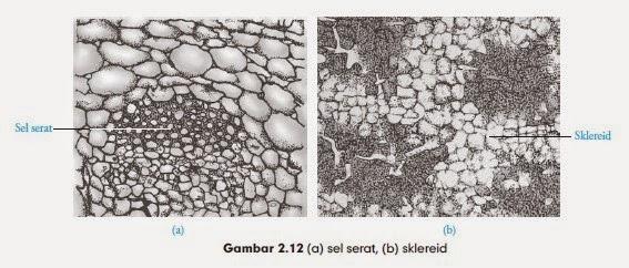 (a) sel serat, (b) sklereid